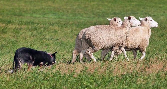 Photo of Çoban Köpekleri Büyük Sürüleri Tek Başına Nasıl Güderler?
